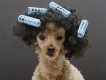 Petit caniche avec de grands cheveux et bigoudis Image libre de droits