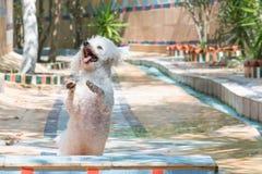 Petit caniche de chien sautant sur un beau fond Image stock