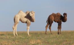 Petit chameau blanc Photographie stock libre de droits