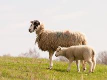 Petit champ d'agneau et de mère au printemps Photographie stock