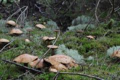 Petit champignon comestible Photos stock