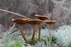 Petit champignon de couche Photo stock