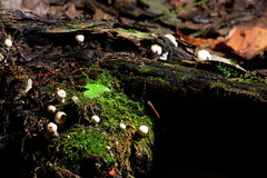 Petit champignon de couche Photos libres de droits