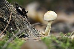 Petit champignon de couche brun Photos stock