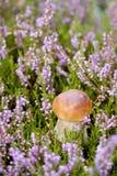Petit champignon de couche dans la bruyère photos stock