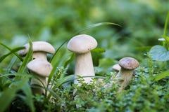 Petit champignon en photo de macro d'herbe verte Scène de forêt d'été Photos stock