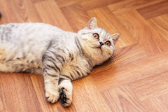 Petit chat écossais gris drôle photos stock