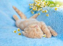 Petit chat de sommeil Images libres de droits