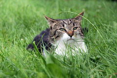 Petit chat menaçant dans leur dissimulation d'herbe Image libre de droits