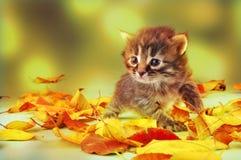 Petit chaton âgé de 20 jours dans des feuilles d'automne Images libres de droits