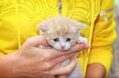 Petit chaton écossais photos libres de droits