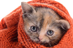 Petit chaton écossais image stock