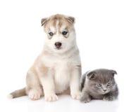 Petit chaton écossais et chiot de chien de traîneau sibérien ensemble D'isolement Photographie stock