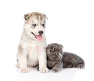 Petit chaton écossais et chiot de chien de traîneau sibérien ensemble D'isolement sur le blanc Photos libres de droits