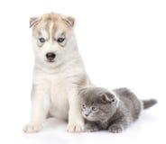 Petit chaton écossais et chiot de chien de traîneau sibérien ensemble isolat Photo libre de droits