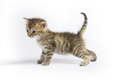 Petit chaton Photo libre de droits