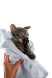 Petit chaton après une douche dans les mains de la fille sur le backgr blanc images libres de droits