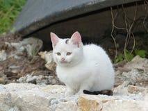 Petit chaton blanc Images libres de droits