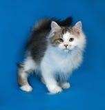 Petit chaton blanc pelucheux avec des taches se tenant sur le bleu Images libres de droits