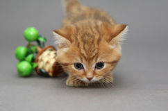 Petit chaton britannique orange Photographie stock libre de droits