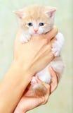 Petit chaton dans des mains Photos libres de droits