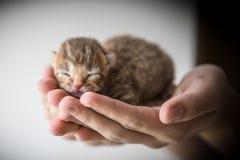 Petit chaton dans des mains humaines Image libre de droits