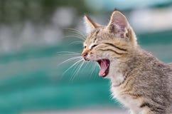 Petit chaton de baîllement images libres de droits