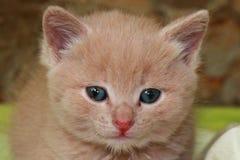 Petit chaton de gingembre avec des yeux bleus sur un fond vert images libres de droits