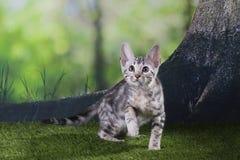 Petit chaton de pli d'écossais sur le tapis rouge Photographie stock