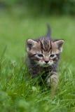 Petit chaton doux marchant par l'herbe verte photographie stock libre de droits