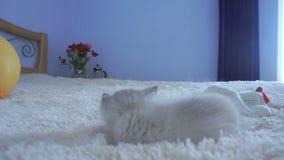 Petit chaton gris étendu sur une couverture banque de vidéos