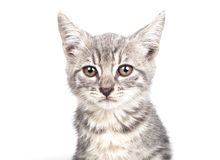 Petit chaton gris Image libre de droits