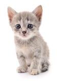 Petit chaton gris Image stock