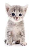 Petit chaton gris Photographie stock