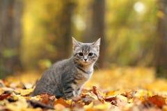 Petit chaton gris dans des feuilles oranges Images stock