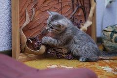 Petit chaton gris jouant avec un panneau des branches photos stock