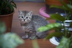 Petit chaton gris se reposant en serre chaude à la maison image stock