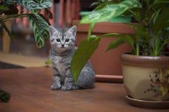 Petit chaton gris se reposant en serre chaude à la maison photographie stock