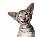 Petit chaton miaulant laid de sourire drôle Fermez-vous vers le haut de la verticale Images stock