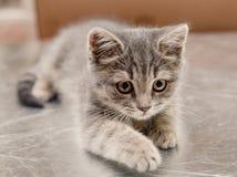 Petit chaton mignon se reposant sur une surface argentée Photos stock