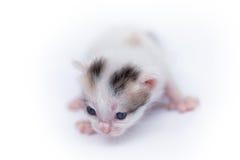 Petit chaton mignon sur le blanc Images libres de droits