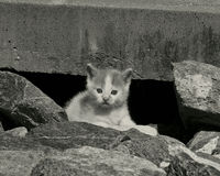 Petit chaton - noir et blanc Image stock