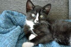 Petit chaton noir et blanc doux de cheveux courts dormant et jouant dans une couverture domestique bleue Images libres de droits