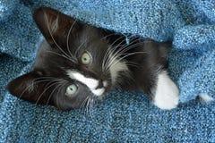 Petit chaton noir et blanc doux de cheveux courts dormant et jouant dans une couverture domestique bleue Image libre de droits