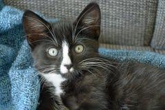Petit chaton noir et blanc doux de cheveux courts dormant et jouant dans une couverture domestique bleue Photo libre de droits