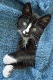 Petit chaton noir et blanc doux de cheveux courts dormant et jouant dans une couverture domestique bleue Photos stock