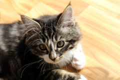 Petit chaton norvégien qui se repose au sol Photographie stock libre de droits