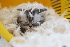 Petit chaton parmi les plumes blanches Photographie stock libre de droits