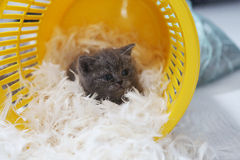 Petit chaton parmi les plumes blanches Photo stock