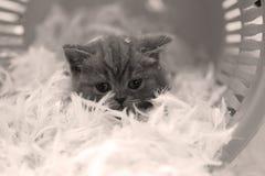 Petit chaton parmi les plumes blanches Image libre de droits